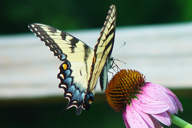 butterfly-1403392